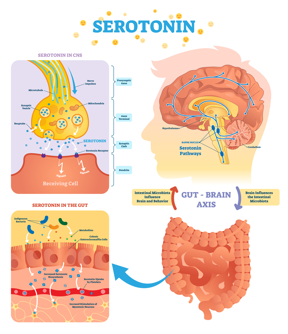 Serototin vector illustration. Labeled diagram with gut brain axis and CNS.